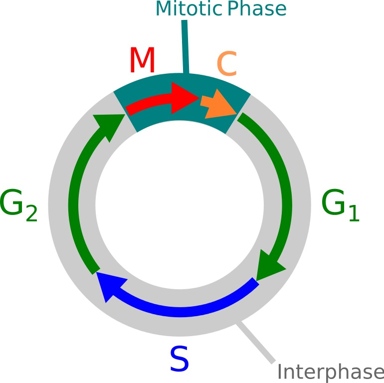 Diagram showing the common stages of the cell cycle.