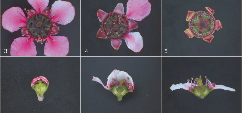 Stages of mānuka flower development