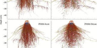 The reconstructed three-dimensional root system architecture models for individual maize plants at the grain-filling stage of two cultivars, ZD958 and XY335, with contrasting axile root angles