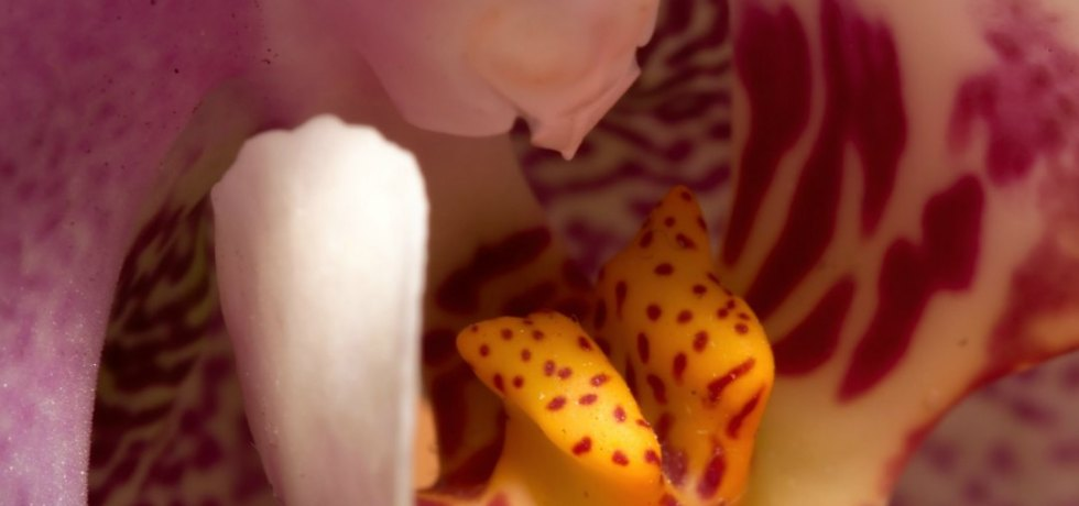 Orchid, very close-up