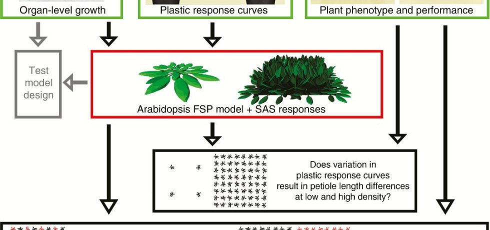Overview of the research design, in which three independent experiments (bordered in green) are combined with functional–structural plant (FSP) modelling (bordered in red) to address three questions (bordered in black).