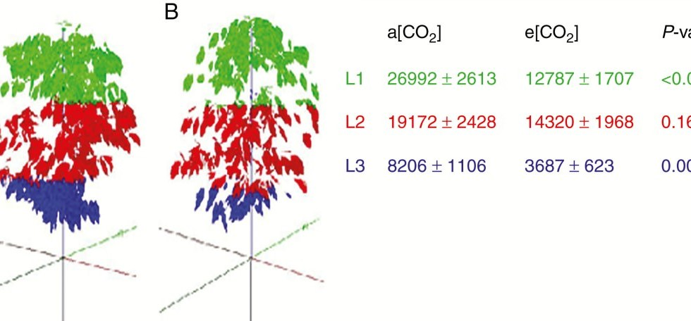 Reconstructions of Arabica coffee plants cultivated under elevated (e[CO2], in A) and actual (a[CO2], in B)