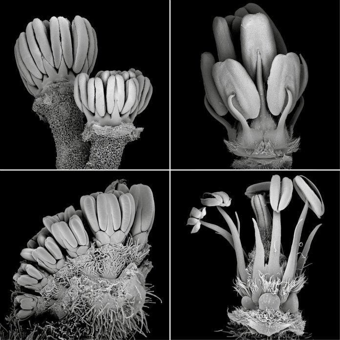 SEM micrographs of different developmental stages of Hypseocharitaceae and Geraniaceae flowers.