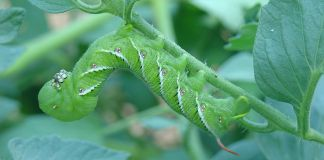 Tobacco hornworm on a tomato plant. From https://commons.wikimedia.org/wiki/File:Florida_tobacco_hornworm_Manduca-sexta.jpg