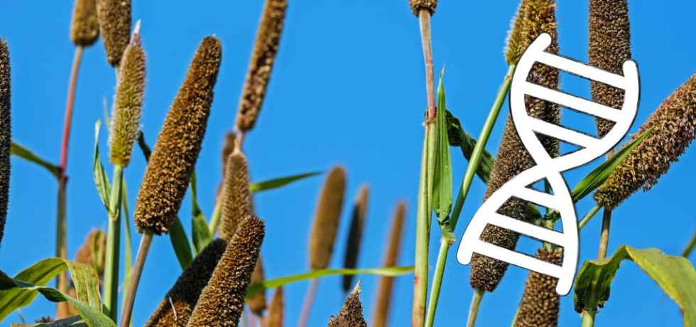 Millet and DNA.