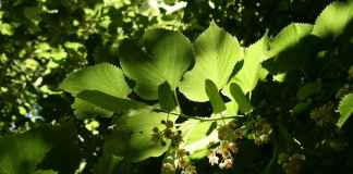 Leaves in dappled light