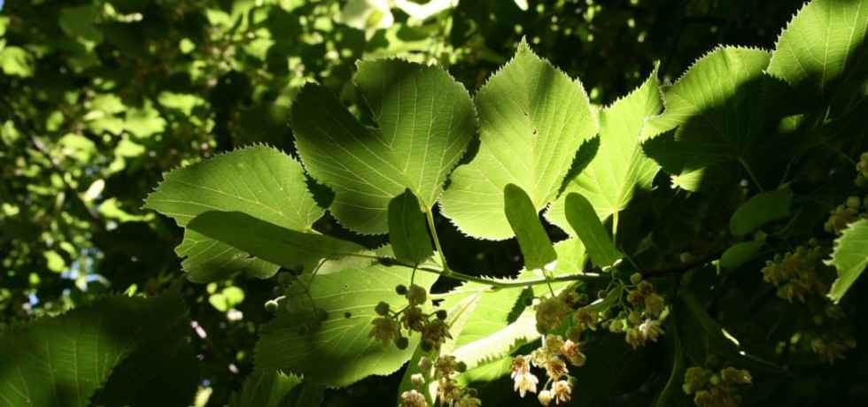 Leaves in dappled light