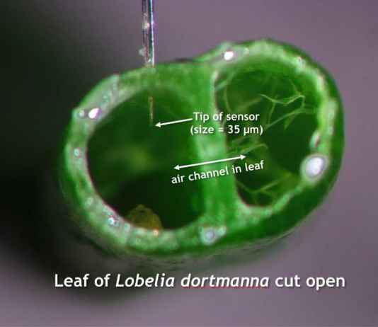 Leaf_of_Lobelia_dortmanna