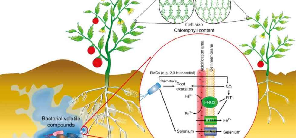 Bacterial volatiles improve plant growth and yield, leaf size, flower and fruit production, root proliferation, root hair formation, cell size, and chlorophyll content.