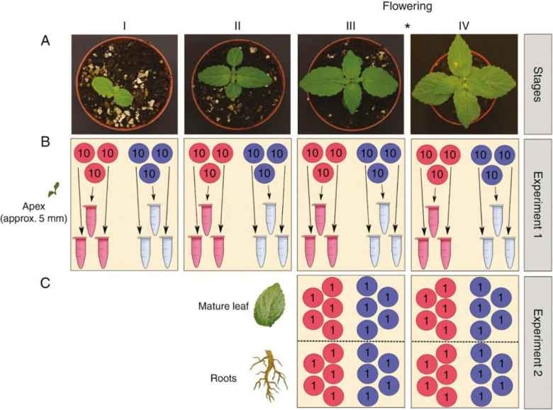 Images of the typical (male) plant phenotype at each of the four growth stages studied.