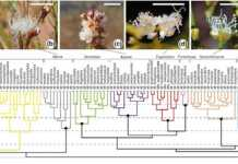 Floral similarity across the Myrcia phylogeny.