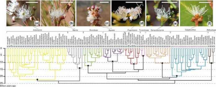 Floral similarity across the Myrcia phylogeny.