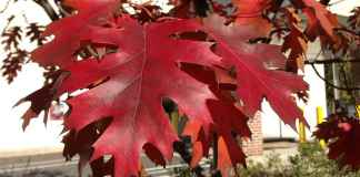 Red Oak Foliage