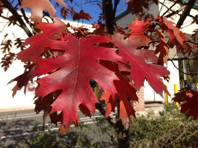Red Oak Foliage