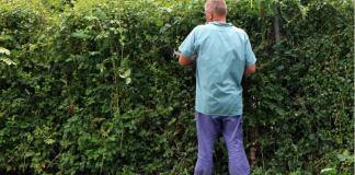 A gardener battling a hedge