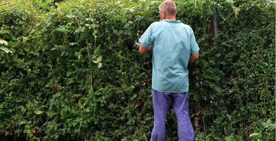 A gardener battling a hedge
