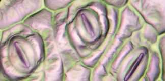 Begonia cells