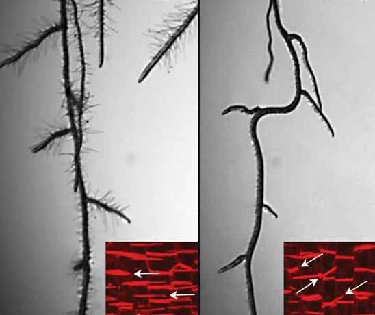 Arabidopsis roots
