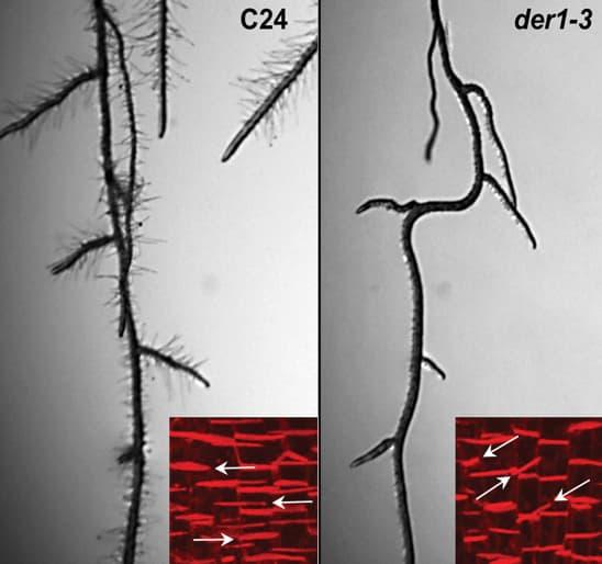 Arabidopsis roots