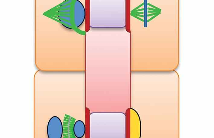 A diagram of cell formation
