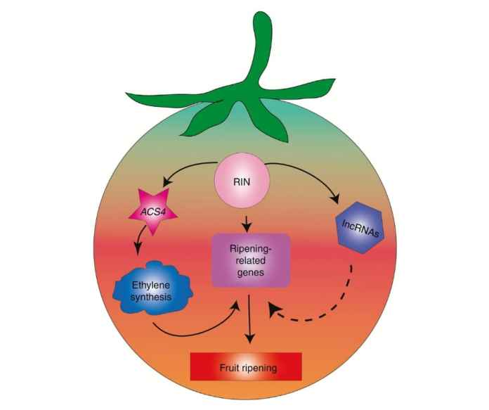 Schematic representation of the proposed model for a regulatory mechanism of tomato fruit ripenin