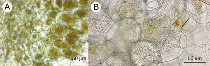 Micrographs of root cross-sections from Anoectochilus sandvicensis