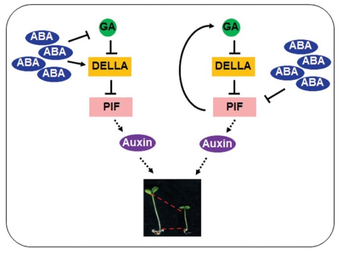 ABA function in inhibition of hypocotyl elongation