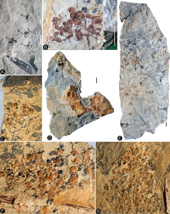 Siltstone slabs bearing Nanjinganthus