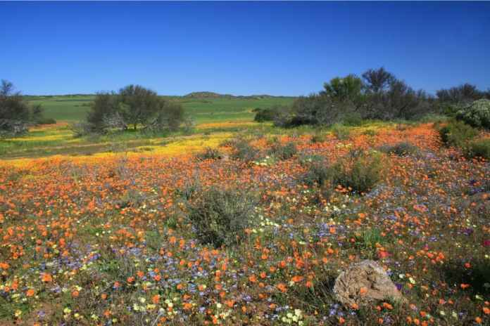 Namaqualand in bloom