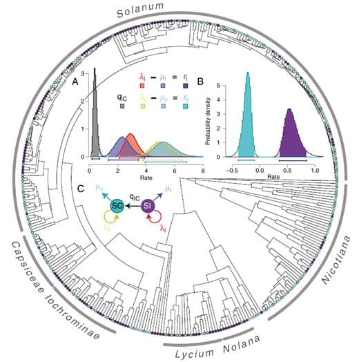 Phylogenetic relationships in the Solanaceae species