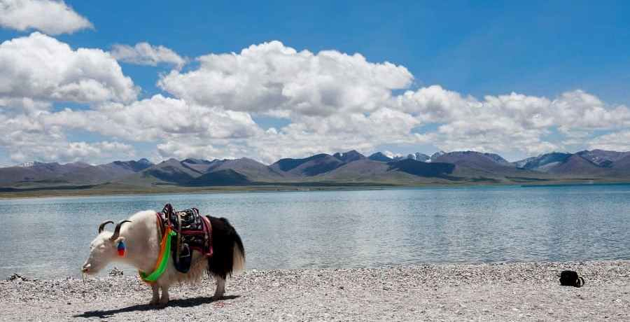 A Yak on the shore of Lake Nam Co