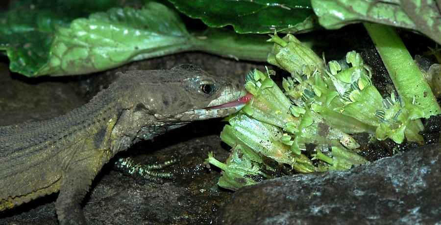 "A Drakensberg Crag Lizard (Pseudocordylis subviridis) licking nectar from the ""Hidden Flowers"" of Guthriea capensis in a terrarium"