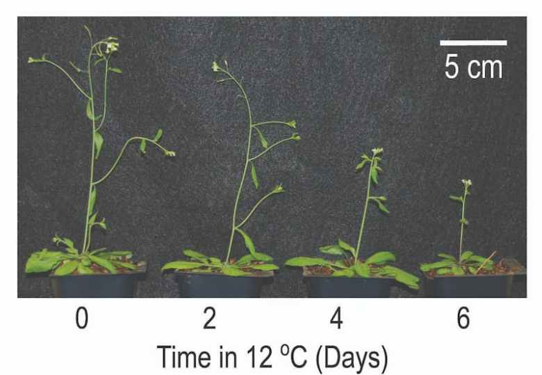 Arabidopsis plants responding to temperature