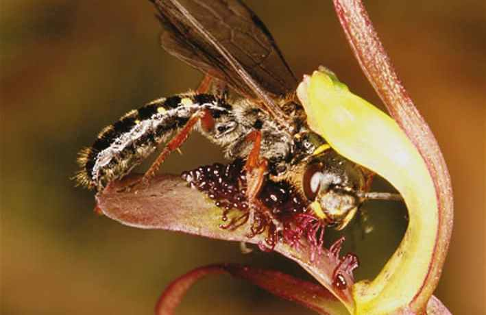Insect on a Chiloglottis orchid