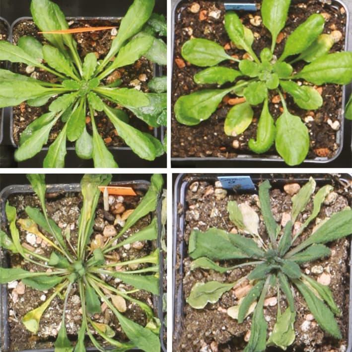 Stressed arabidopsis