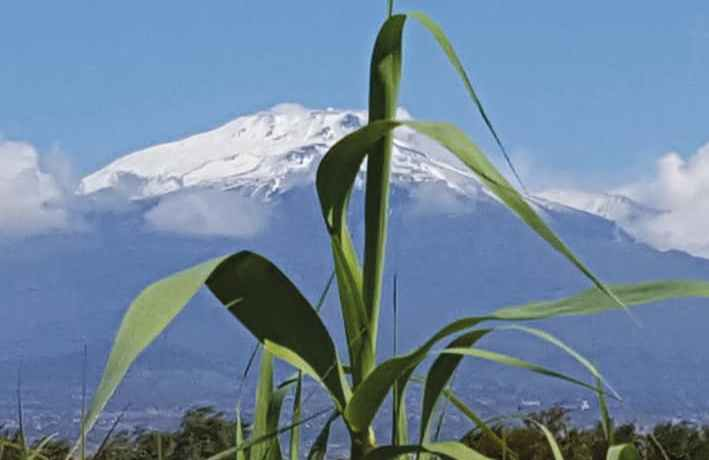 Arundo donax against Mount Etna