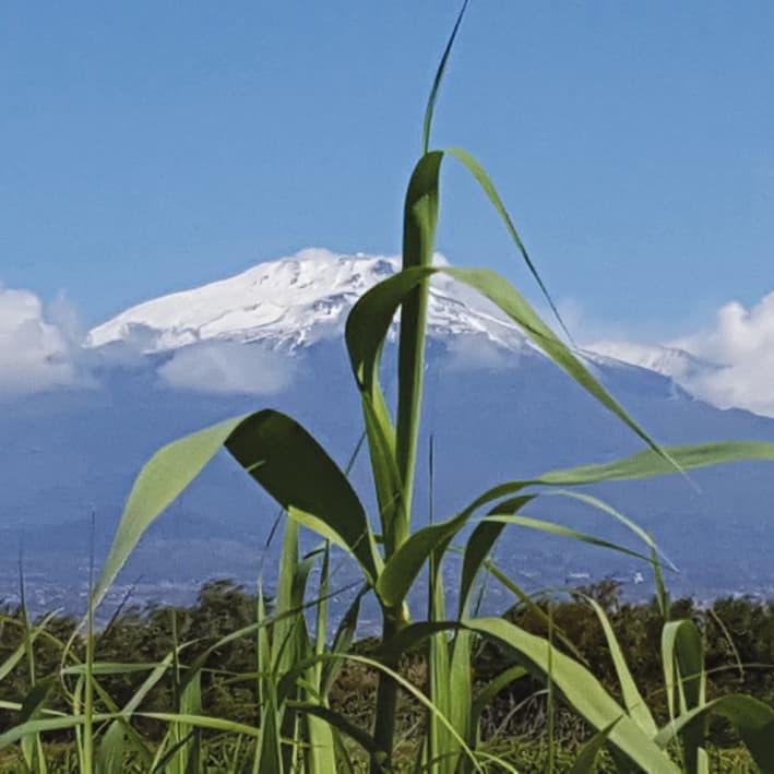 Arundo donax against Mount Etna