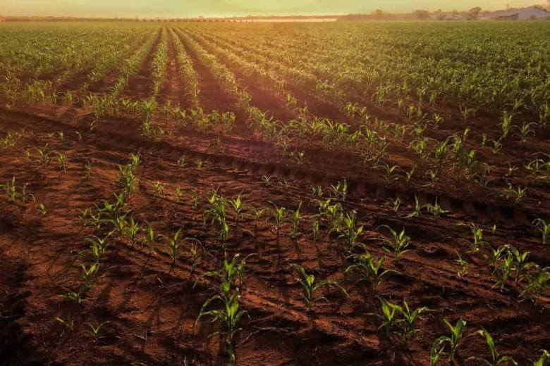 Maize growing in a field.