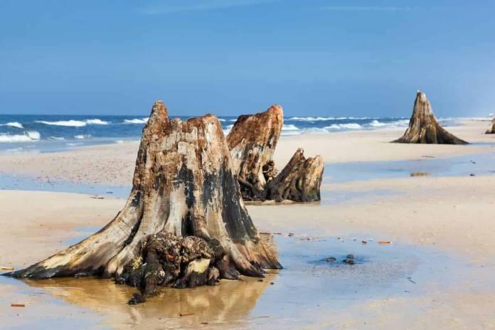 Broken tree stumps on a beach.