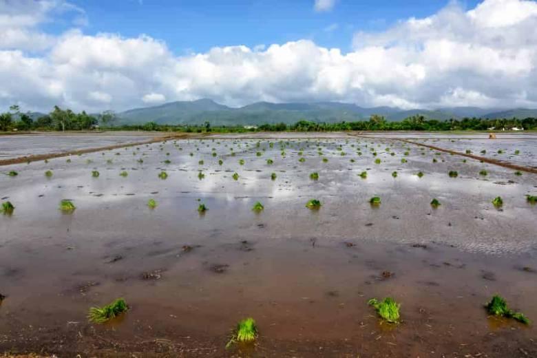Philippines rice seedlings