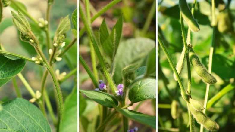 Plants exhibiting phenology