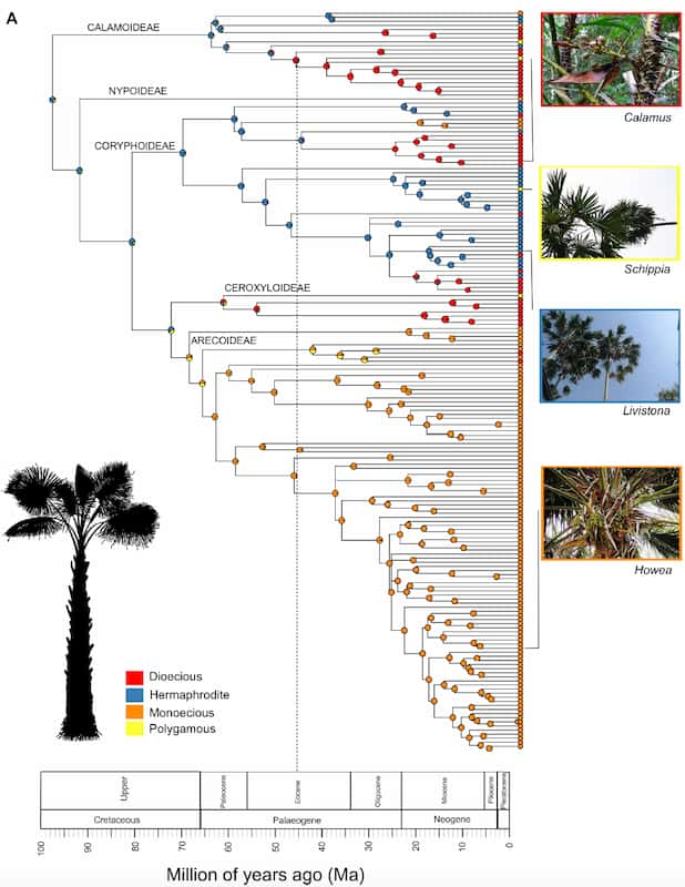 A complicated diagram of how palms are related to each other.
