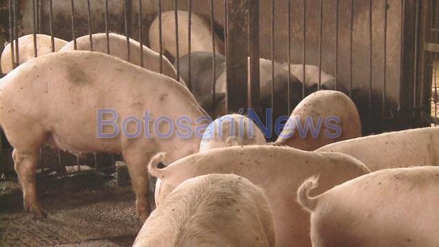 ferma de porci in Botosani