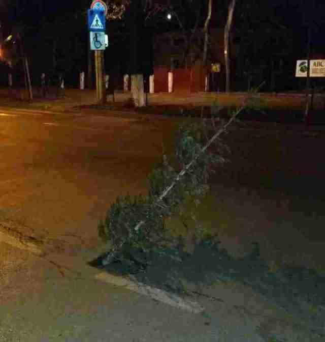 brad in gaura din asfalt- botosani