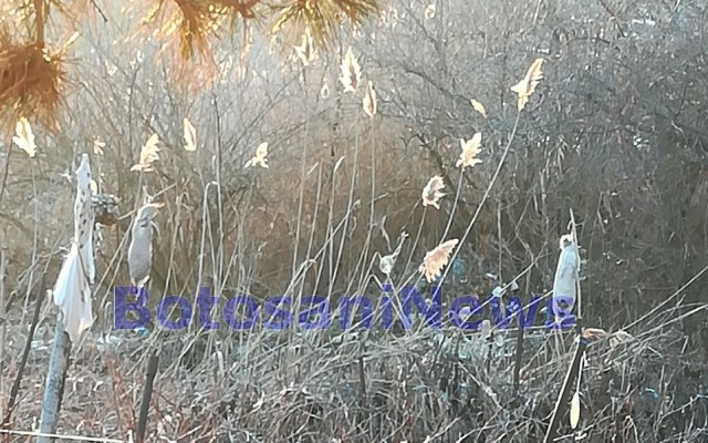 iepuri spanzurati in copaci, trusesti, stiri, botosani