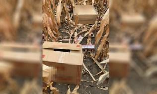 stiri, botosani, tigari ascunse in porumb (1)