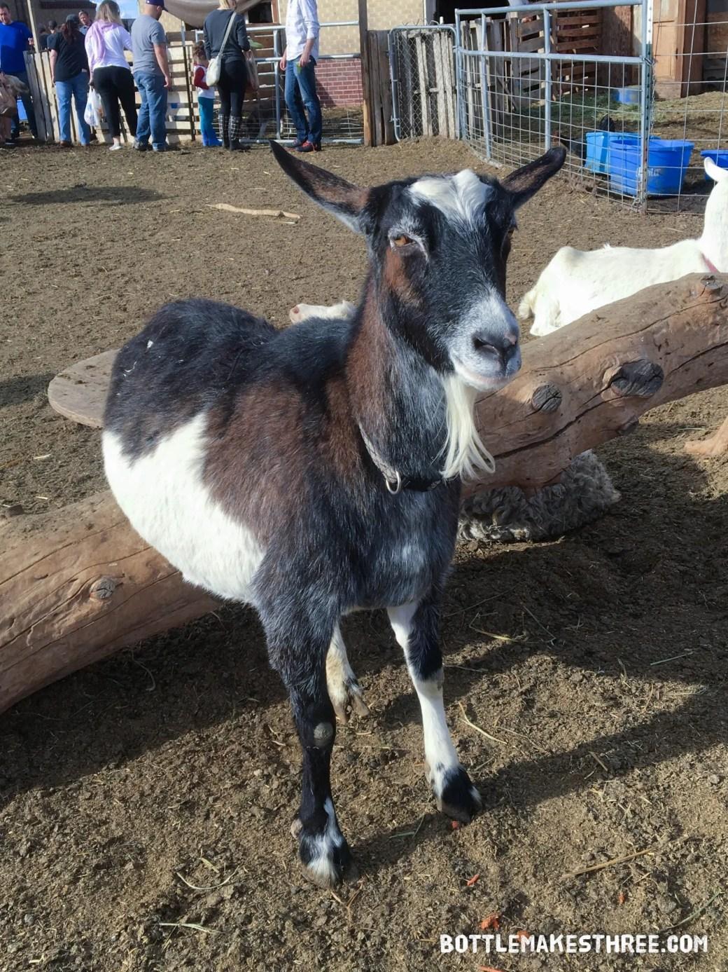 Tripod, the 3-legged goat. At the Happy Thanks-Living at Broken Shovels Farm (Henderson, Colorado) | BottleMakesThree.com