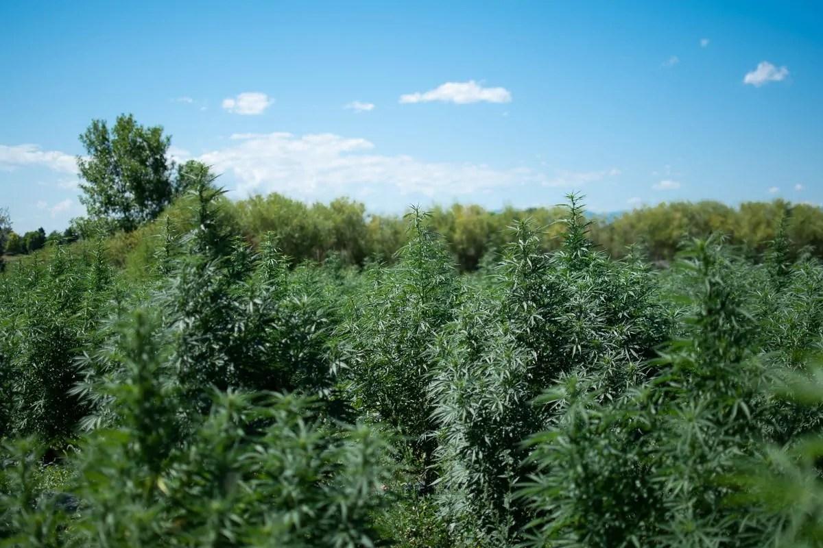 Rows of industrial hemp plants at the WAAYB Organic family farm, a USDA Certified Organic hemp farm in northern Colorado