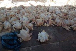 امن دائرة جبل امساعد يحجز ازيد من .238.74 كلغ من اللحوم البيضاء غير صالحة للاستهلاك البشري :