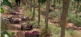 مزرعة المتوكلون بعين الريش مثال للاستثمار الناجح
